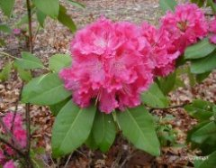 Other Rhododendrons